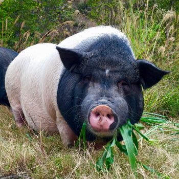 10 Reasons to Love Pigs